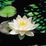 Opened lotus flower