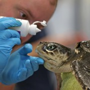 Rescuing sea turtles